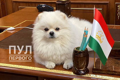 Пес Лукашенко улегся на столе в резиденции президента Таджикистана: Звери: Из жизни: Lenta.ru